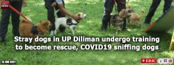 Stray dogs in UP Diliman undergo training to become rescue, COVID-19 sniffing dogs